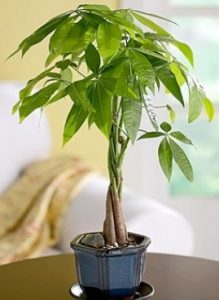Money tree small
